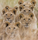 African Lion. Family of African Lions looking very alert Royalty Free Stock Image