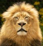 african lion Στοκ Φωτογραφία