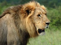 African Lion. Wild male lion (Panthera leo) in Africa Royalty Free Stock Photos