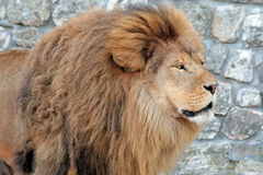African Lion. (Panthera leo) in a zoo Royalty Free Stock Photo