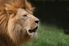 Free African Lion Stock Image - 7564791
