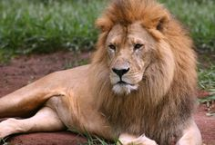 Free African Lion Royalty Free Stock Images - 7564809