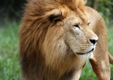 African Lion. Close up of an African Lion watching its surroundings Royalty Free Stock Image
