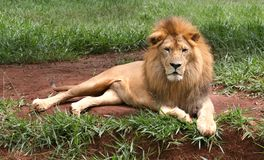 Free African Lion Stock Photography - 7564882