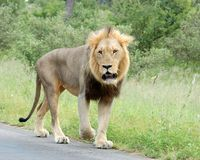 African Lion. Wild male lion (Panthera leo) in Africa Stock Photography