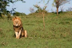 African Lion. A lion staring off in the distance Royalty Free Stock Image