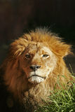 African Lion. Portrait of an African Lion stock image