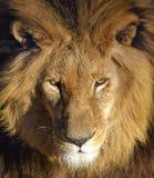african lion Στοκ φωτογραφία με δικαίωμα ελεύθερης χρήσης