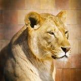 african lion Στοκ εικόνα με δικαίωμα ελεύθερης χρήσης