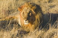 African Lion Stock Images
