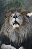 African Lion. Male African Lion looking up in fear Stock Image