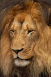 African Lion in Africa Stock Images