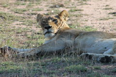 African Lion. Basking in the sun Stock Photo