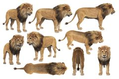 Lion wild african feline set. African lion with big mane set. 3D rendering Royalty Free Stock Photography