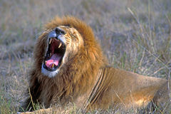 African Lion. Big African Lion resting in Savannah, yawning portrait Stock Images