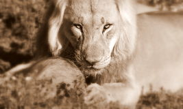 African Lion. A close up wildlife  photo of a male lion. Taken on safari in South Africa Royalty Free Stock Photography