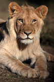 African Lion. A close up wildlife  photo of a male lion. Taken on safari in South Africa Royalty Free Stock Image