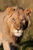African Lion. A close up wildlife photo of a male lion. Taken on safari in South Africa stock photo