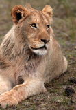 African Lion. A close up wildlife photo of a male lion. Taken on safari in South Africa stock image