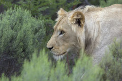 African Lion. Royalty Free Stock Images