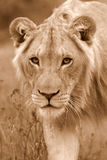 African Lion. A close up wildlife photo of a male lion. Taken on safari in South Africa royalty free stock images