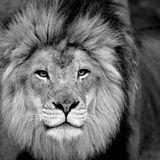 African lion closeup. Male African lion (Panthera leo) closeup in black and white Stock Image