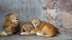 African lion couple. In the zoo Stock Images