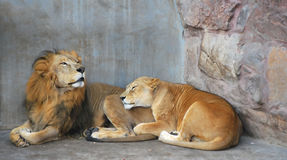 African lion couple. African lion guarding lioness during courtship Royalty Free Stock Image