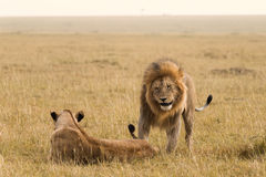African lion couple. In the Masai Mara in Kenya Stock Image