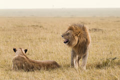 African lion couple Royalty Free Stock Photo