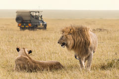African lion couple and safari jeep Royalty Free Stock Image
