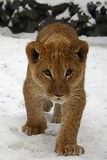 African Lion cub. Lion cub on the snow royalty free stock image