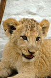 African lion cub. A cute African lion cub head portrait watching other lions in a game park in South Africa Royalty Free Stock Photos
