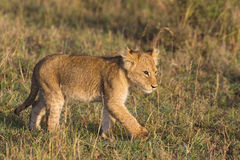 African lion cub. (Panthera leo Royalty Free Stock Photo