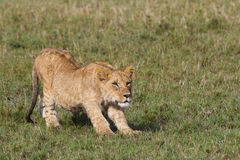 African lion cub Royalty Free Stock Images