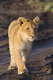 African lion cub. (Panthera leo Royalty Free Stock Images