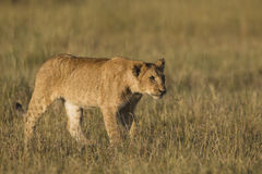 African lion cub. In the Masai Mara National Reserve in Kenya Royalty Free Stock Photo
