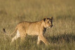 African lion cub. In the Masai Mara National Reserve in Kenya Royalty Free Stock Photos