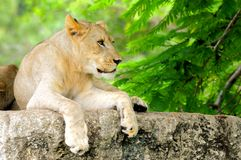 African lion cub closeup Royalty Free Stock Photos