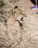 Lion cub growling in the grass. African lion cub in the grass attempting to growl and roar royalty free stock image