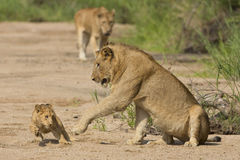African Lion cub and mother (Panthera leo) South Africa Stock Image