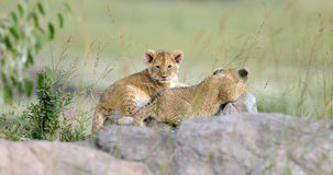 African lion cub. In National park of Kenya, Africa Stock Photography
