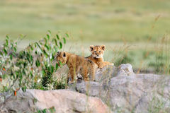 African lion cub Royalty Free Stock Photos