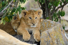 African lion cub Stock Images
