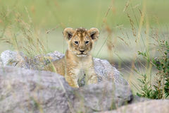 African lion cub. In National park of Kenya, Africa Royalty Free Stock Photos