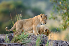 African lion cub. In National park of Kenya, Africa Stock Photos