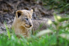 African lion cub. In National park of Kenya, Africa Stock Image