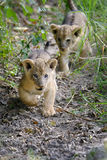 African lion cub. In National park of Kenya, Africa Royalty Free Stock Photography