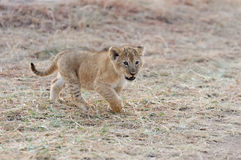 African lion cub. (Panthera leo), National park of Kenya, Africa Stock Image