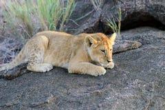 African lion cub. (Panthera leo), National park of Kenya, Africa Royalty Free Stock Image